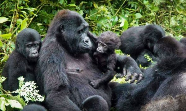Visit-Uganda-Today-for-an-Amazing-Gorilla-Tracking-Experience